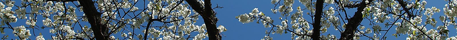 Easter Cherry tree blossoms Banner