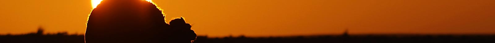 Camel escaping in red sun.