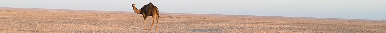 Camel in evening Western Sahara Banner