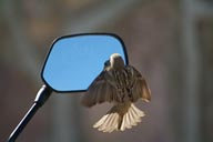 Bird in love with his mirror image.