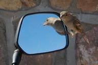 Sparrow and mirror.