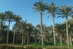 Nile valley plantations, near Dashur. Palm trees.