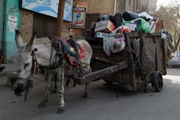 Old weak donkey, trash cart, Cairo. Egypt.