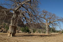 Two huge baobabs, dry milet fields south of Dogon Escarpement. Blue sky.