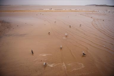 Brown Essaouira Bay. Birds in brakish water.