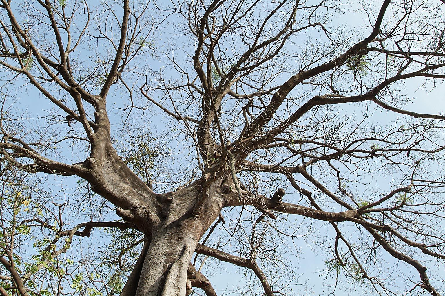 http://www.thisfabtrek.com/journey/africa/senegal-gambia/20080306-djembering/fromager-silk-cotton-tree-senegal-4.jpg