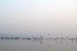 Lake Galilee, 1000 birds prepare to land.