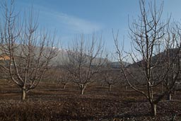 Apple trees, winter, Mount Hermon in back, near Majdal Shams.