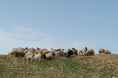 Sheep and goats, Palestine.