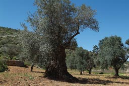 Old olive trees, Palesitine.
