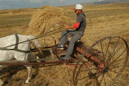 Lake Cildir, Young Man on horse cart, raking hay.