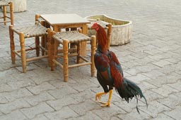 Rooster in street cafe.