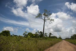 Belize, Ceiba by the road.