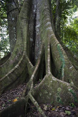 Huge old tree, Ceiba, Manzanillo jungle, Costa Rica.
