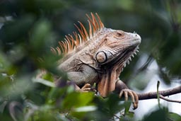 Huge golden iguana atop green leaves, Cahuita jungle, Costa Rica.
