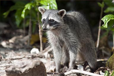 Raccoon, Costa Rica, Cahuita.