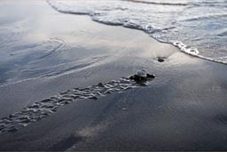 Go baby go, small turtle runs into the ocean, grabs the first wave and paddles out into the unknown, into freedom. El Zonte volcanic black beach, El Salvador.
