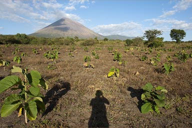 San Cristobal volcano, Nicarague, a field of teca, teak trees, in the making?