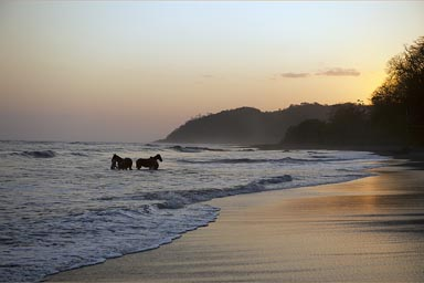 Horses in ocean, en of day, Cambutal, Panama, Pacific.