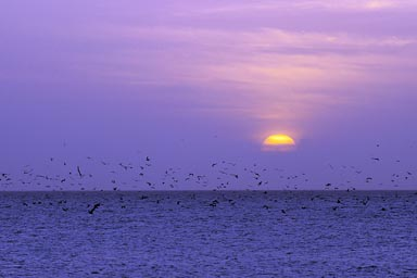 Thousands of Pelicans are feeding, just at sunrise, Punta Chame, Panama.