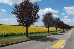 Road in France, countryside, fields of sunflowers, lined by trees, yellow strips.