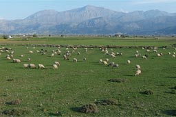 Ageos Nicholeos Plateau sheep farming.