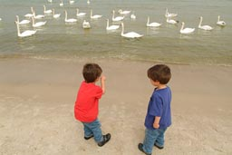 Boys: what do with the swans?