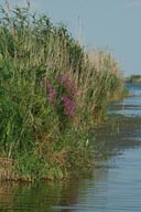 reeds, Wetlands, Mouth of Danube.
