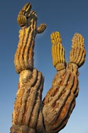 Cardon Cactus, Baja California.