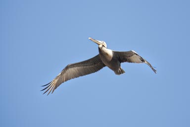 Southern California, single pelican.