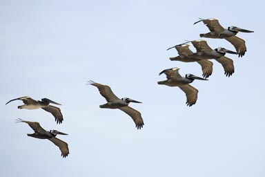 South Californian coast, migrating pelicans, flying South to North, April.
