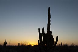 Cardon Cactus sunset Baja California.