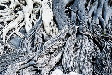 Black and white stems and trunks of tree for an art of roots, Hacienda San Miguel, Batopilas, Mexico.