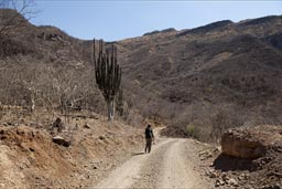 Huge pipe cacti on road down to Urique Canyon.