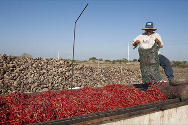 Man emptying fresh red chilies/chillis from a sac on the grill for drying. Sinaloa, Mexico.