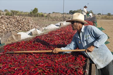 Spreading the chilies out on the roast for drying. Mexico.