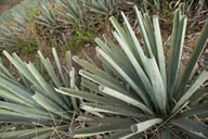 Agave for Raicilla, western Jalisco.