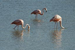 See some more flamingos heading back to Santa Clara.