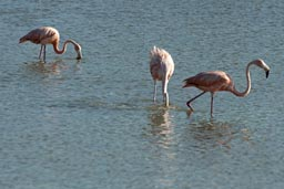 Flamingos feeding.