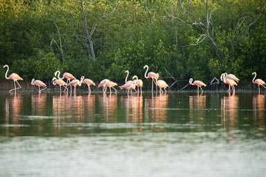 Line-up of pink and orange, male and female flamingoes. Yucatan, Mexico.