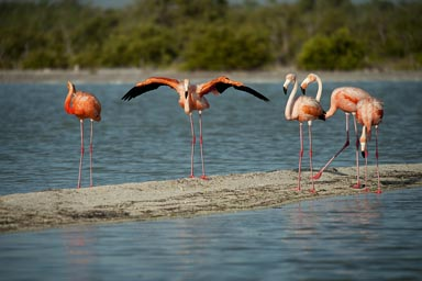 Red flamingo spreads his wings.