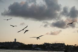 Late pelicans fly in, Acapulco beach..