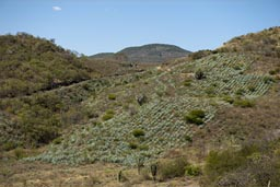 Maguey plantation, for Mescal. Oaxaca, mountain landscape.