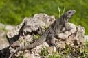 Iguana, resating on rock, Uxmal, Mexico.