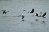 Flying pelicans off Cape Alava, migrating from Alaska to California.