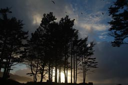 Cape Lookout, pines and sunset.