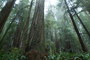 Misty rainy Californian redwoods.