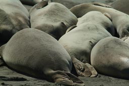 Elephant Seals stretched out on beach.