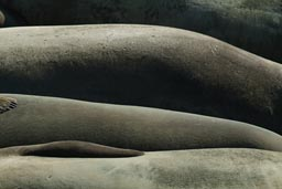Ligned up Elephant Seals.