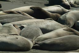 Group of Elephant Seals California.